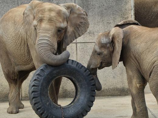 とべ動物園アフリカゾウの仲良し姉妹:媛ちゃん、砥愛ちゃん