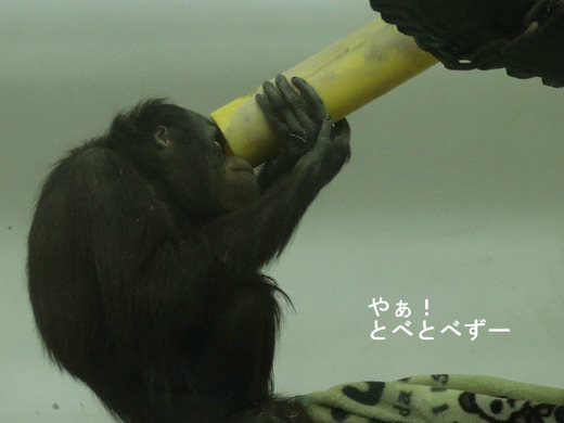 とべ動物園:ボルネオオラウータンのハヤトくん
