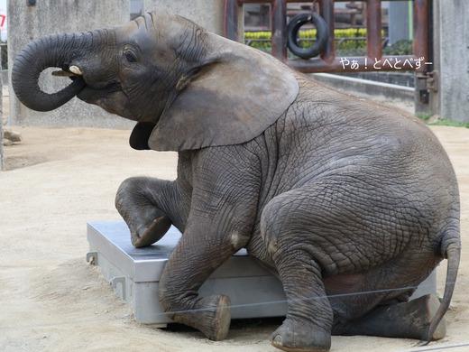 日本で唯一アフリカゾウの子象が見らえる愛媛とべ動物園