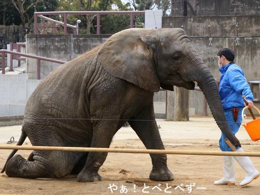 日本で唯一アフリカゾウの家族が暮らす愛媛とべ動物園