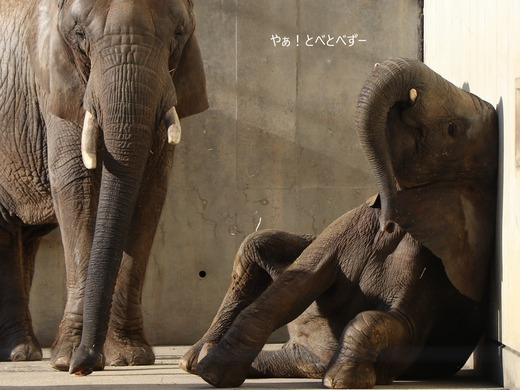 お腹が痛いアフリカゾウの子象の砥愛ちゃん