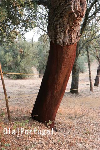 ポルトガルのコルク林:アレンテージョ地方(アライオロス)