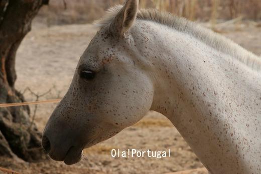 ポルトガルの動物:馬(アライオロスのポザーダにて)