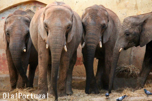 ポルトガル・リスボン動物園のアフリカゾウ
