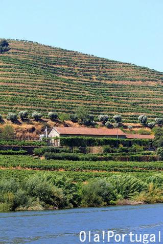 ワイン用のブドウの段々畑の風景(ポルトガル)