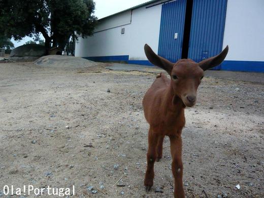 アライオロスの農園ホテルの仔ヤギ