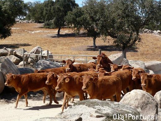 ポルトガル牧畜の風景:健康な牛から作られるチーズが美味しい