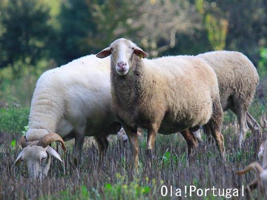 ポルトガルの動物:ヒツジ