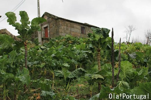 カルド・ヴェルデに使われるチリメン・キャベツの畑