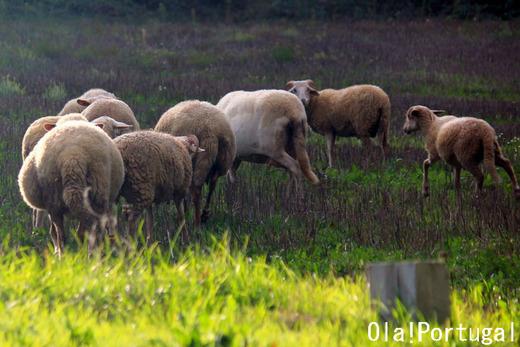 ポルトガル旅行記:Sabugal サブガルの放牧風景(ヒツジ)