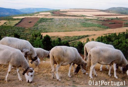 ポルトガルの牧畜風景:マンテイガス村の放牧風景