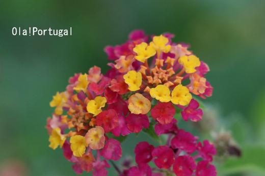 ポルトガルの野花
