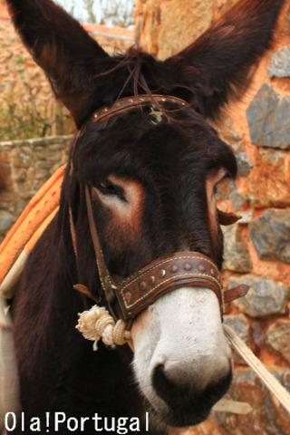 ポルトガルの動物:ロバ(ミランダロバ)