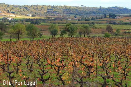 ポルトガルの田舎の風景:ブドウ畑