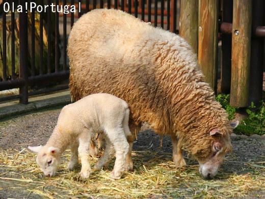 とべ動物園のヒツジ(コリデール)の赤ちゃん