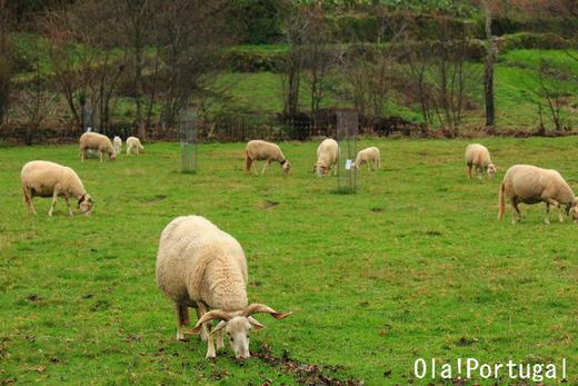 ポルトガルのチーズ:羊の放牧の様子