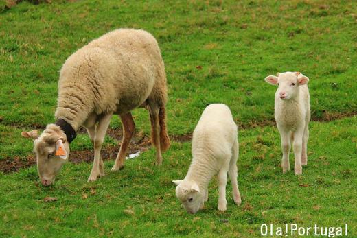 ポルトガルの動物たち:ひつじ