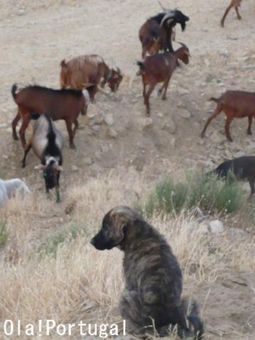 ポルトガルの犬:エストレーラ犬(牧羊犬)