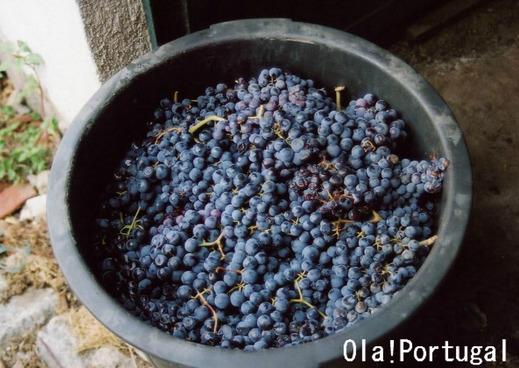 ポルトガル語でブドウは、Uva ウヴァ(複数形はウヴァシュ)