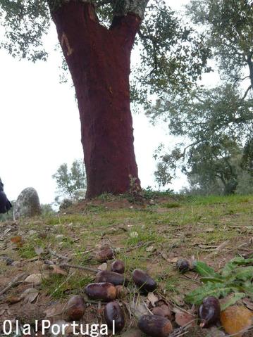コルク樫のドングリ