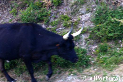 ポンテ・デ・リマの伝統の牛祭りの様子