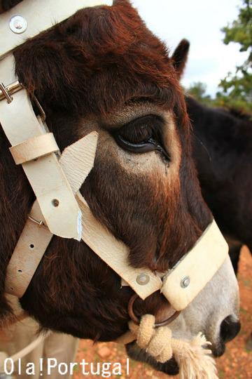 Burro-de-miranda-Portugal,Miranda donkeys