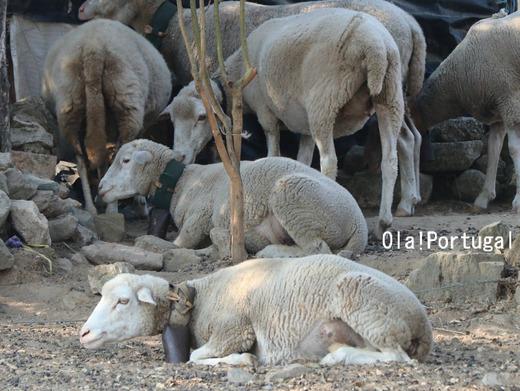 ポルトガルの動物:羊
