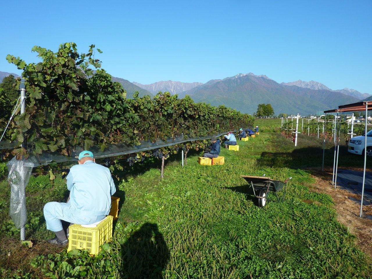 本年度はブドウの出来ばえはこれまでの最高の物です。渋田見さんも今年に収穫... 大町ワインぶどう