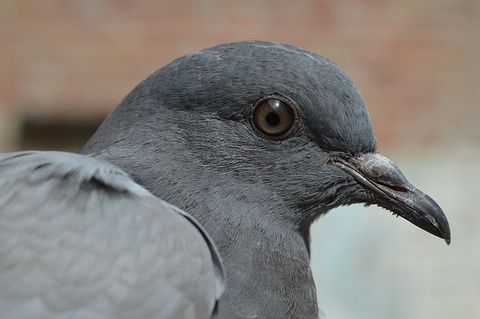 pigeon-380221_640