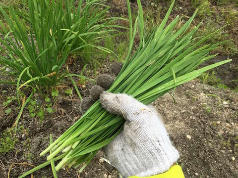 chinese-chive-top