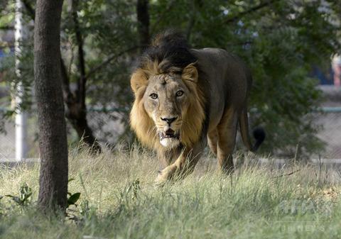 密猟者、ライオンに襲われる