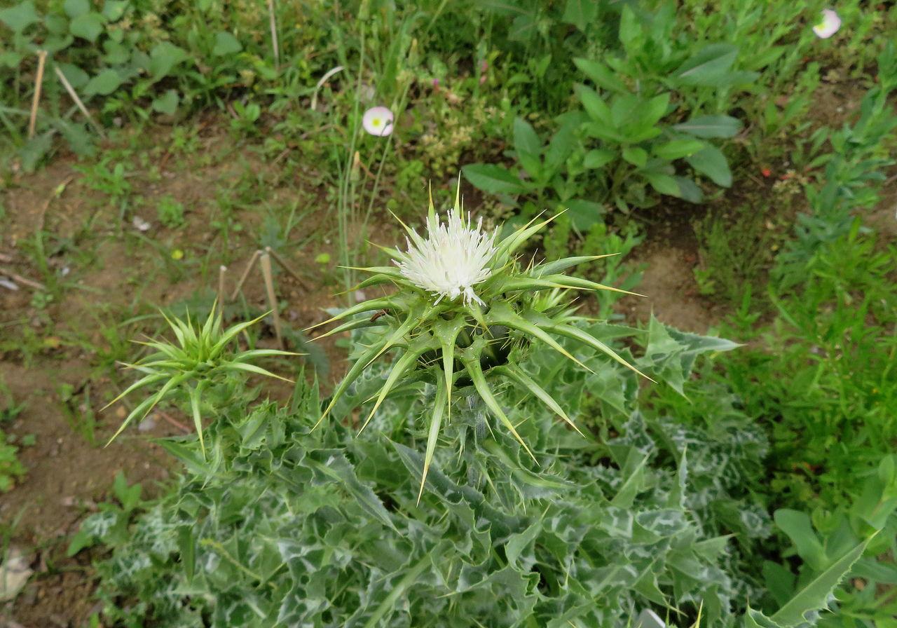マリアアザミ(白花種)