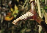 サルトリイバラ冬芽