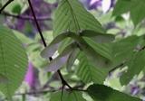 メグスリノキ種2