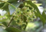 サルトリイバラ雌花