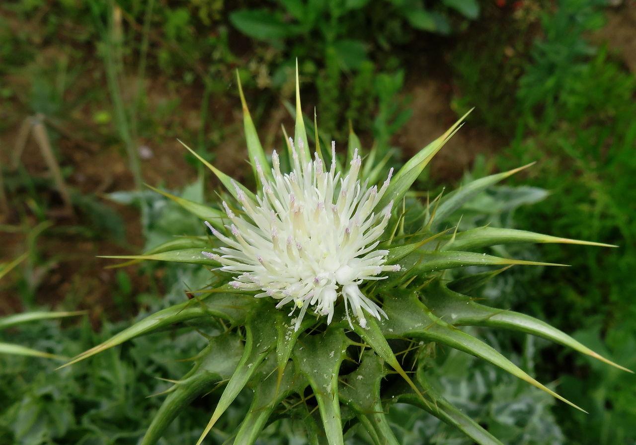 マリアアザミ(白花種)2