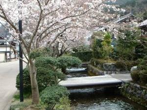 地蔵川の桜