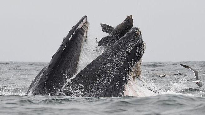 クジラがトドを丸飲みに…