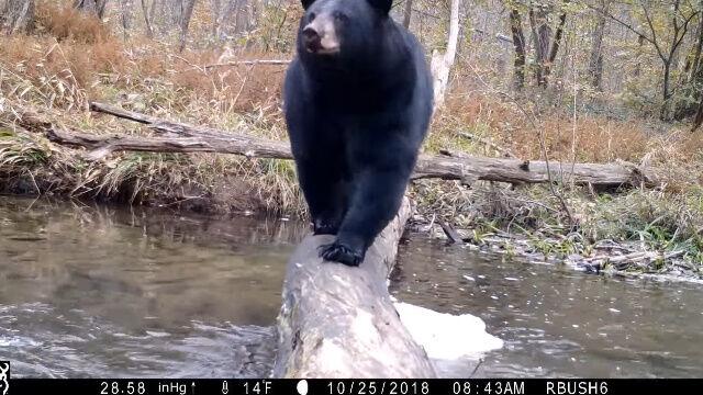 クマ、シカ、ボブキャット、ライチョウ、ビーバー。米ペンシルベニア州の1本の丸太橋にカメラを設置、さまざまな動物の暮らしを眺めた映像