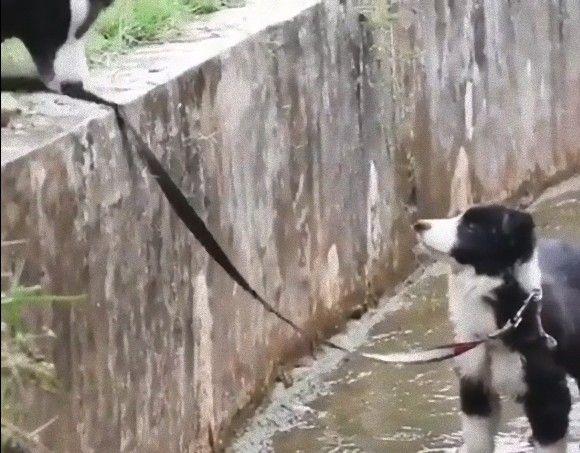 やっぱり賢い!ボーダーコリーの親犬が水路に落ちた子犬を助け出す知恵と工夫がすごかった!