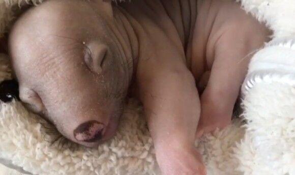 事故で母親を失くしたウォンバットの赤ちゃん、危機乗り越え元気になったよ!(オーストラリア)
