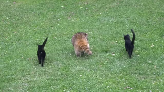 盲目のアライグマにボディーガードのように寄り添う、2匹の黒い子猫たち