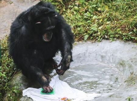石鹸とブラシを使ってTシャツを洗うチンパンジーの仕草がもうほとんどヒトだった。