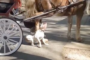 【恐怖】ピットブルさん大きな馬に襲いかかって致命傷を負う。(動画)
