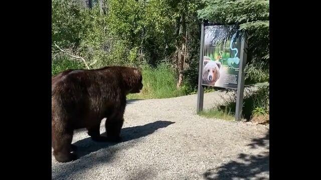 これは怖い。米アラスカ州の国立公園にて、アラスカヒグマと超至近距離で接近遭遇
