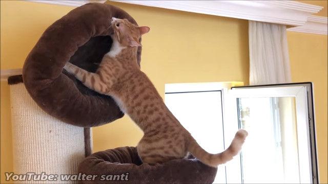 「これが最高の猫ベッドだ!」猫用のベッドを移動させて、自己流のベッドを用意する猫