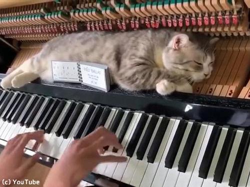 そばに居たい猫…演奏中のピアノの中で昼寝(動画)