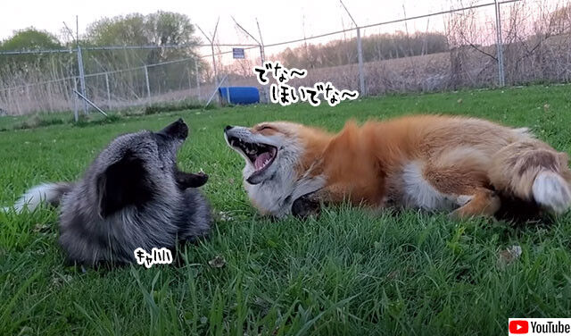 何を話しているんだろう?2匹のキツネが楽しそうにキャフキャフおしゃべり(※要音声)