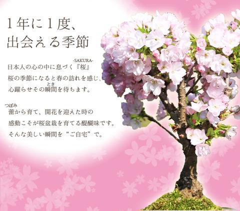 sakura-image1