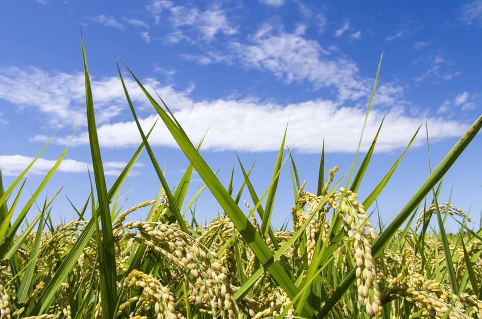 科学と古事記でみる稲作の起源と...
